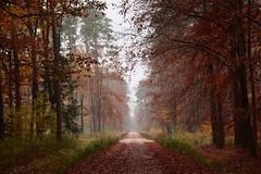 rainy forest... (JoannaRB2009) Tags: forest woods nature path road rain rainy wet tree trees weather autumn fall mist fog humid humidity leaves dzkie lodzkie polska poland landscape view