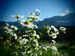 Montagne fiorite 2 (sandra_simonetti88) Tags: montagna montagne flower flowers fiore fiori italia italy lombardia lombardy valcamonica vallecamonica mountain mountains