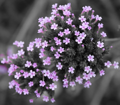 Selective Colour: Flowers (anastasiastrong) Tags: selectivecolour purple ithink violet flowers tinyflowers