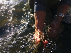The release (animal vegetable miracle) Tags: flyfishing trout release flytying colorado flyfishingcolorado womenwhofish womeninwaders