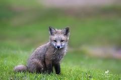 Jouer dans la Rose du Matin (Renald Bourque) Tags: renard fox wildlife sauvage