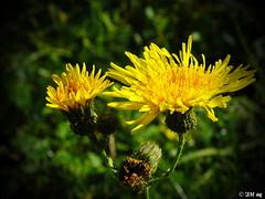 Acker-Gänsedistel (MacroManni) Tags: herbst autumn germany nrw rheinerftkreis ackergänsedistel wiesenblume flower