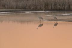 Three Cranes-49283.jpg (Mully410 * Images) Tags: burnettcounty birding crexmeadowsstatewildlifearea sandhillcranes crexmeadows reflections lake sedgemarsh pond birdwatching pink bird cattails cranes shadows birds wisconsin