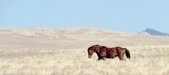 Fighter (prairiegirrl) Tags: mustangs wildhorses wildlife wyoming