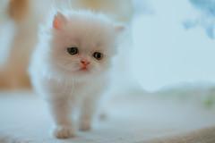 last persian (koolandgang) Tags: persian cat kitten kitty kedi kedici pisipisi chinchilla babycat feline simal contour backlight backlit nikon50mm