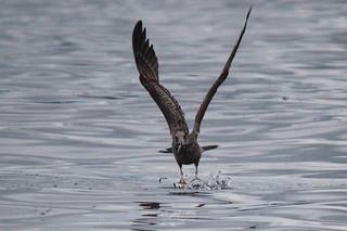 Gull grabbing some grub