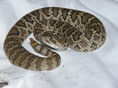 Crotalus scutulatus (carlos mancilla) Tags: crotalusscutulatus reptiles víboradecascabel rattlesnake olympussp570uz víboras vipers