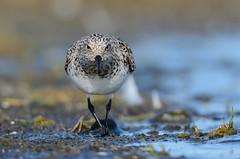 Sanderla - Sanderling - Calidris alba (oskar.sigurmundason) Tags: sanderla sanderling calidris alba nikon d7000 sigma 150600 island iceland national geographic ngc wader birds birding
