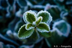 Frost (R.O. - Fotografie) Tags: frost eis ice natur nature winter kalt cold makro bokeh macro panasonic lumix dmcfz1000 dmc fz1000 fz 1000 outdoor close up closeup