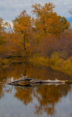 Log (stevenbulman44) Tags: autumn fall canon 70200f28l fishcreek water reflection tree forest landscape lseries filter polarizer sky color orange yellow calgary