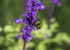 Lavender #2 (ur.bes) Tags: canon eos 600d 600 nature fleur flower fleurs lavande lavender violet purple bourdon bumblebee