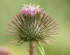 IMG_1671 (Sally Knox Sakshaug) Tags: nynov2016 fall autumn outside outdoors conesus area nature closeup close up perspective angle interesting different vary varied variety unique unusual line lines flower floral purple pink lavender white thistle spiky spike hooks stem