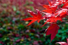 Autumn (kernowrules) Tags: ifttt 500px autumn japenese red maple leaves tree england colour bokeh green yellow martyn pars