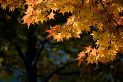 Scene of autumn (Colorful-wind) Tags: 2016 autumn color colorful colors fujifilm fukuoka japan leaf light lightandshadow nature xt1 アメリカ楓 北九州 秋