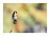 DSC_7572.jpg (lio33) Tags: tamron150600 chardonneret nikon oiseau oiseaux parcleteich parcornithologique nikond750 leteich