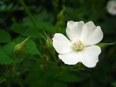 memory (VERUSHKA4) Tags: summer june white wild rose botanic garden moscow russia city europe canon verdure green leaves bush vue view bud petal capture stamen pistil beautiful pure five
