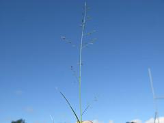 Eragrostis alveiformis flowerhead4 NWS
