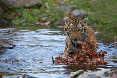 Arila Badenixe (Mel.Rick) Tags: zooduisburg tigercub tiger tigerbaby makar arila sibirischertiger sugetiere tiere raubtiere raubkatzen