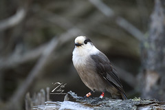 Oh Canada (Seventh day photography.ca) Tags: greyjay whiskyjack bird animal nature wildanimal wildlife woods ontario canada fall autumn seventhdayphotography chrismacdonald