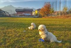 Before the #duel #bichon #bichonfrise #sunset #mucrone #alps #ig_biella  #innamoratidelBiellese  #Biellese #puppy #puppies #perro #ilovemydog #instagramdogs #nature #dogstagram #dogoftheday #lovedogs #lovepuppies #hound #adorable #doglover #instapuppy (! . Angela Lobefaro . !) Tags: instagramapp square squareformat iphoneography uploaded:by=instagram waiting cane perro perrito cao caes hund hundchen cagnolino cachorro leone birbo dog chien montemucrone biellese biella piemonte piedmont pavignano