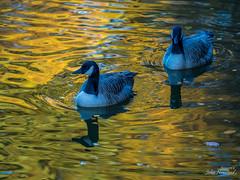 Canada Geese in reflected sunlight (johnnewstead1) Tags: centreparcs elvedon norfolk wildlife nature woodland bird birds wildfowl goose geese canada canadagoose canadageese forest johnnewstead olympus reflection