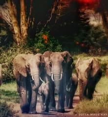 Here they come.... (JuttaMK) Tags: elephants herd lewaconservancy fever tree kenya mauekay 2016 family lewa conservancy filters
