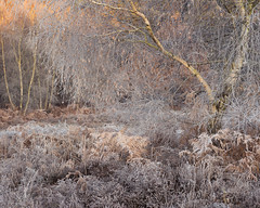 Lace (jellyfire) Tags: eastanglia eastofengland forest frost greatbritain landscape landscapephotography sonnartfe55mmf18za sony sonya7r suffolk winter woodland atmospheric branches broadleaf cold copse countryside deciduous ecology frozen green growth knettishallheath leaves leeacaster life norfolk rural suffolkwildlifetrust trees trunk unitedkingdom woods wwwleeacastercom zeiss