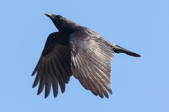 American Crow in Flight 11-27-2016-23 (Scott Alan McClurg) Tags: aves cbrachyrhynchos corvidae corvoidea corvus flickr neoaves neognathae neornithes passeri passeriformes american americancrow autumn black blackandwhite claw cold color crow dive fall flap flapping flight fly flying life nature naturephotography talon wild wildlife