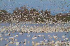 Sacramento National Wildlife Refuge (Atascaderocoachsam) Tags: droh dailyrayofhope