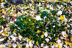 Laub (Bernsteindrache7) Tags: autumn panasonic lumix landscape park outdoor light leaf garden germany grab flora fauna tree nrw dsseldorf yellow