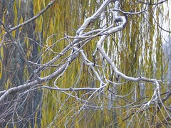 Weeping Willow Branch (starmist1) Tags: willow branch bare snow leaves weepingwillow firstsnow