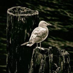 Pole Position (Carl's Captures) Tags: gull seagull bird laridae piers poles southbranch chicagoriver theloop chicagoillinois cityofchicago cookcounty urban downtownchicago chitown thewindycity wildlife nature profile portrait plumage splittones nikond5100 tamron18270 summer july squarecrop ruleofthirds gameofthrones dof photoshopbyfehlfarben thanksbine cabadil shore shoreline