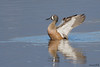 BLUE-WINGED TEAL (sea25bill) Tags: bluewingedteal dabblingduck male morning sun slough nature wildlife animal fall california