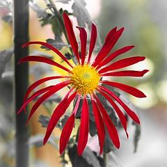 the Higo-giku chrysanthemum (mi_ta) Tags: mzuikodigitaled60mmf28macro macro flower