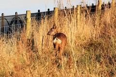 Deer at Barton Upon Humber (markalfa83) Tags: ef70200mm f4l is usm deer barton upon humber wildlife lens canon eos 7d mark ii