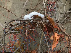 1 Snow Nest (Mertonian) Tags: iphone7plus iphone ifone grapes raisans mertonian autumn fall winter transition texture lookingsideways lunchwalk snow vines interesting playing exploring leaves leaf twigs cement concrete nest 1 purple orange