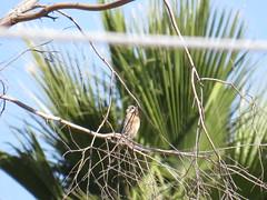 American Kestrel - Arizona by SpeedyJR (SpeedyJR) Tags: 2016janicerodriguez sweetwaterwetlands tucsonaz americankestrel kestrels birds wildlife nature tucsonarizona arizona speedyjr