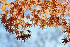 Japanese Maple (jpellgen) Tags: japan japanese nihon nippon  ishikawa kanazawa kenrokuen garden zen     asia nikon 2016 fall autumn sigma 1770mm d7000 leaves leaf momiji koyo maple november travel honshu park nature scenery