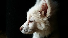 Dog Potrait (rohittirkey1) Tags: dog animal faithful kind animalplanet petanimal world nature pomerian lovedog flickr natgeo