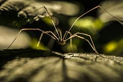 Legs (JoshKPhotos) Tags: macro daddy spider scary nikon long arachnid leg creepy micro nightmare arachnophobia d4