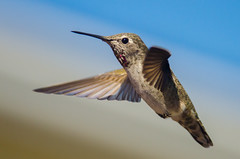 flight (nosha) Tags: blue sky bird beautiful beauty hummingbird feather avian nosha