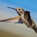 flight (nosha) Tags: blue sky bird beautiful beauty hummingbird feather avian nosha