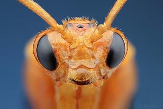 Wasp Symphyta