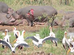 DSCN1474 (David Bygott) Tags: africa bird tanzania injury hippopotamus wound lakemanyara yellowbilledstork lmnp natgeoexpeditions