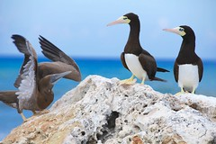 Booby birds (Simone Scott) Tags: birds cayman caymanislands caymanbrac boobybirds