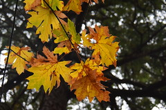 Autumn Maple leaves (ngawangchodron) Tags: canada bc victoria vancouverisland royalroadsuniversity colwood sun18oct