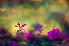 The Promise (Elizabeth_211) Tags: flowers nature floral garden purple bokeh tennessee bud jacksontn westtn utgardensjackson sherielizabeth
