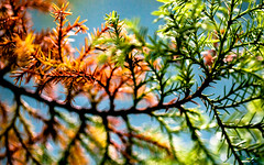 (Steven Schnoor) Tags: colors contrast grain evergreen ornamental