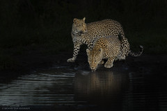 Keeping watch (hvhe1) Tags: africa wild black nature animal night cat southafrica wildlife mother drinking safari leopard bigcat waterhole panther gamedrive gamereserve luipaard panthera malamala hvhe1 hennievanheerden specanimalphotooftheday kikelezifemale daughterofthekikelezifemale