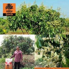 ต้นลำไยสมบูรณ์ ติดดอกมากด้วยปุ๋ยพาริช Logan tree flowering stage...PARICH help increase flowering and fruit bearing